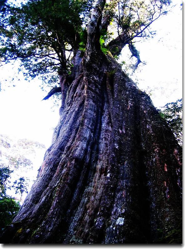紅檜神木(elev. 2471 m, 攝於2005.10.16) 4
