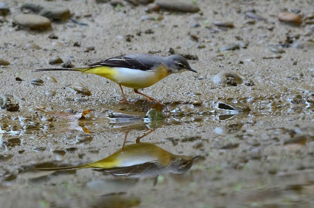 杉林溪賞鳥行之二-也是溪澗小精靈