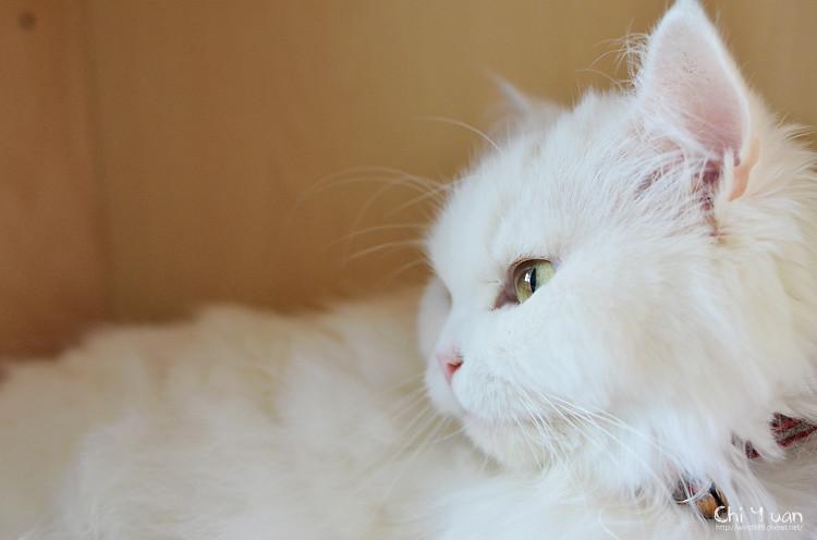 [Cat]叮叮。好眠新居,天涼好個秋