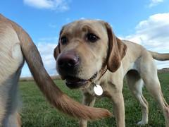 street dog(0.0), chesapeake bay retriever(0.0), dog breed(1.0), labrador retriever(1.0), animal(1.0), broholmer(1.0), dog(1.0), pet(1.0), mammal(1.0), black mouth cur(1.0),