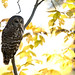 Barred_ Owl_DSC1017 by newspaper_guy Mike Orazzi