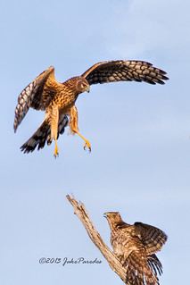 Female Northern Harrier vs. juvenile Cooper's Hawk