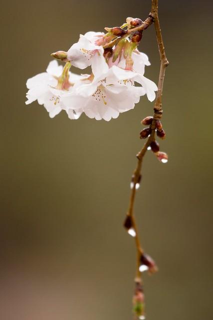 写真_弥生雨桜