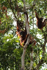 Orang-utans - Borneo Rainforest - Kalimantan, Indonesia