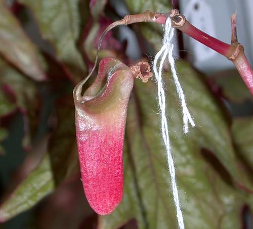 Begonia capsule