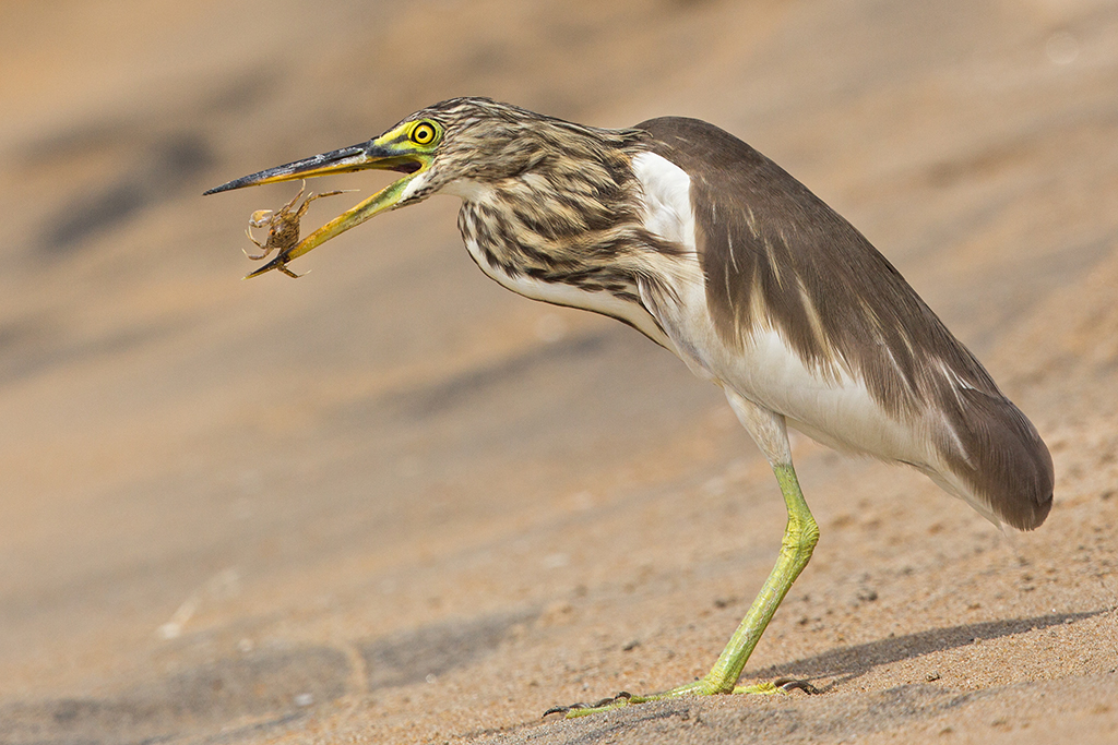 Indian Pond Heron 2013-12-04