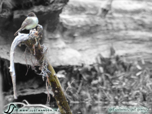 PIC: Cajun Country Swamp Tour - Birding - Whitethroat