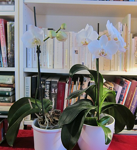 Kaksi valkoista orkideaa by Anna Amnell