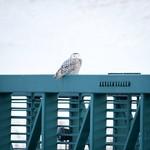 Snowy Owl on a bridge