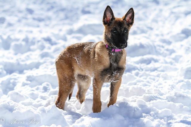 Tulah Is 15 Weeks Old Malinois German Shepherds Forum