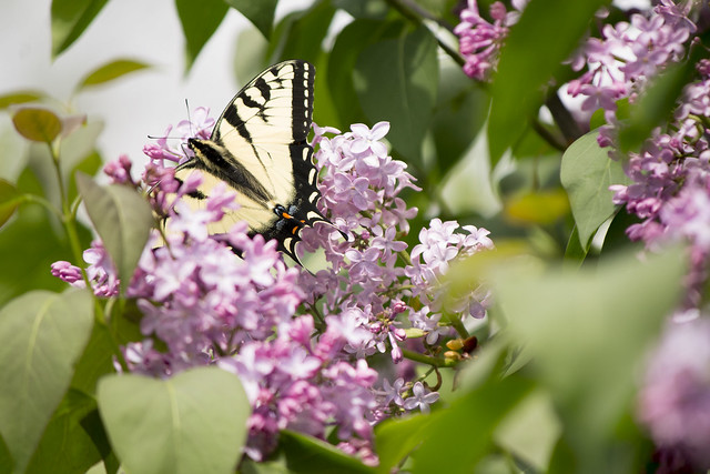 The Monarch and the Lilac
