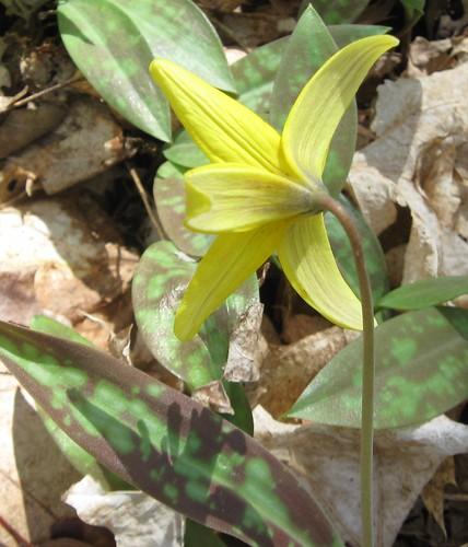 Trout-lily (Erythronium sp.), UW Arboretum, 5/3/14
