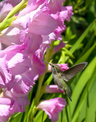 Glads-and-Hummingbird