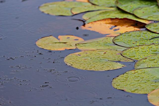 Seerosenblätter im Regen