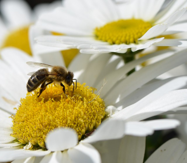 Honey Bee delving into a shasta daisy