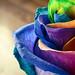 Rainbow Rose by どこでもいっしょ