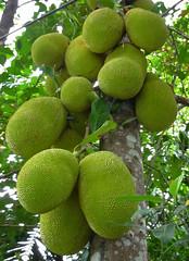 Jackfruit @Madhav Pai