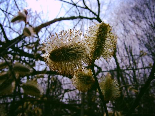 Kätzchen einer Sal-Weide (Salix caprea)
