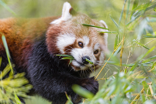 Red panda among the leaves II by Tambako the Jaguar
