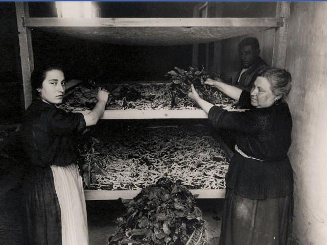 Alimentando gusanos de seda con hojas de morera en el Monasterio de San Bernardo en Toledo en 1925.