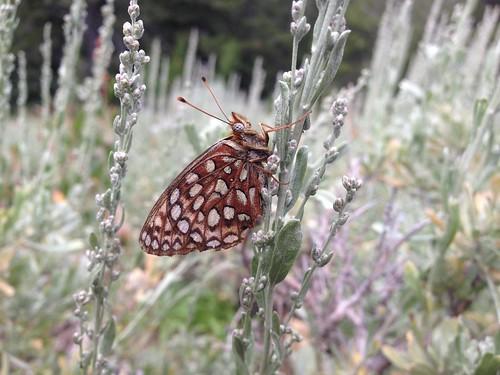 A fritillary butterfly (Speyeria sp.)