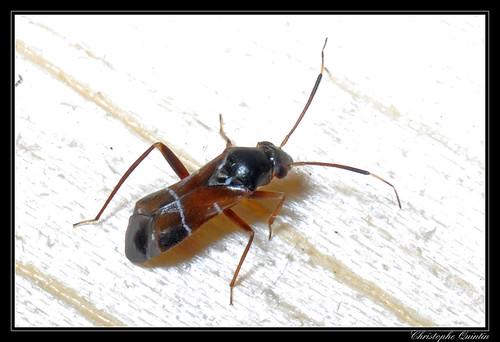 Pilophorus sp.