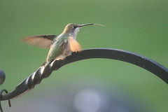 90/365/1916 (September 9, 2013) - Hummingbird (Saline, Michigan)