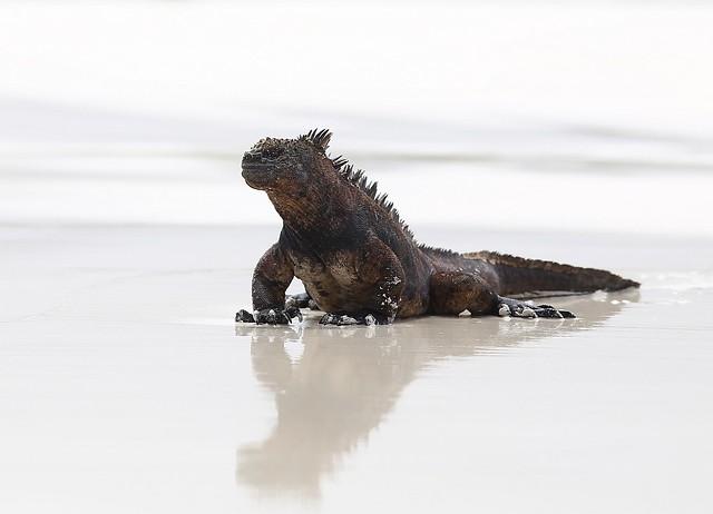 Iguana marina en las Islas Galápagos. Ecuador