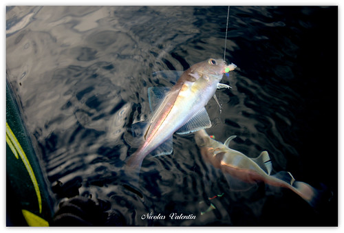 北海的黑線鱈是科學家發現體型縮小的物種之一。(圖:Nicolas Valentin)