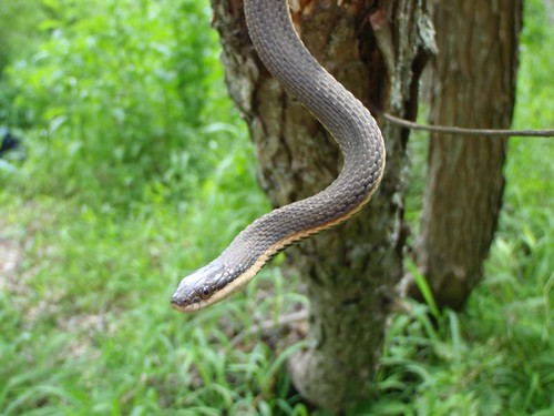 Image of Queen Snake