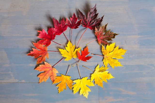 A Maple leaf colourwheel from Woodstock, Vermont