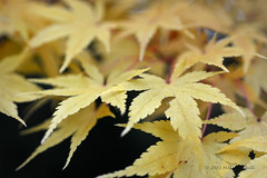 Autumn Acer - Sheffield Park (27)