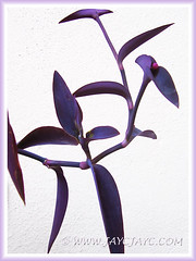 Foliage closeup: Tradescantia pallida 'Purpurea' or 'Purple Heart' (Purple Queen/Secretia), Nov 13 2013
