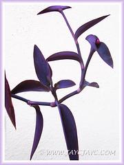 Foliage closeup: Tradescantia pallida 'Purpurea' or 'Purple Heart' (Purple Queen/Secretia), Nov 13 2013