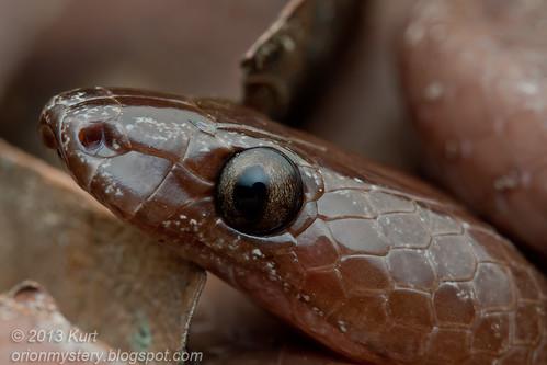 Dusky Wolf Snake (Lycodon effraenis) IMG_3361 copy