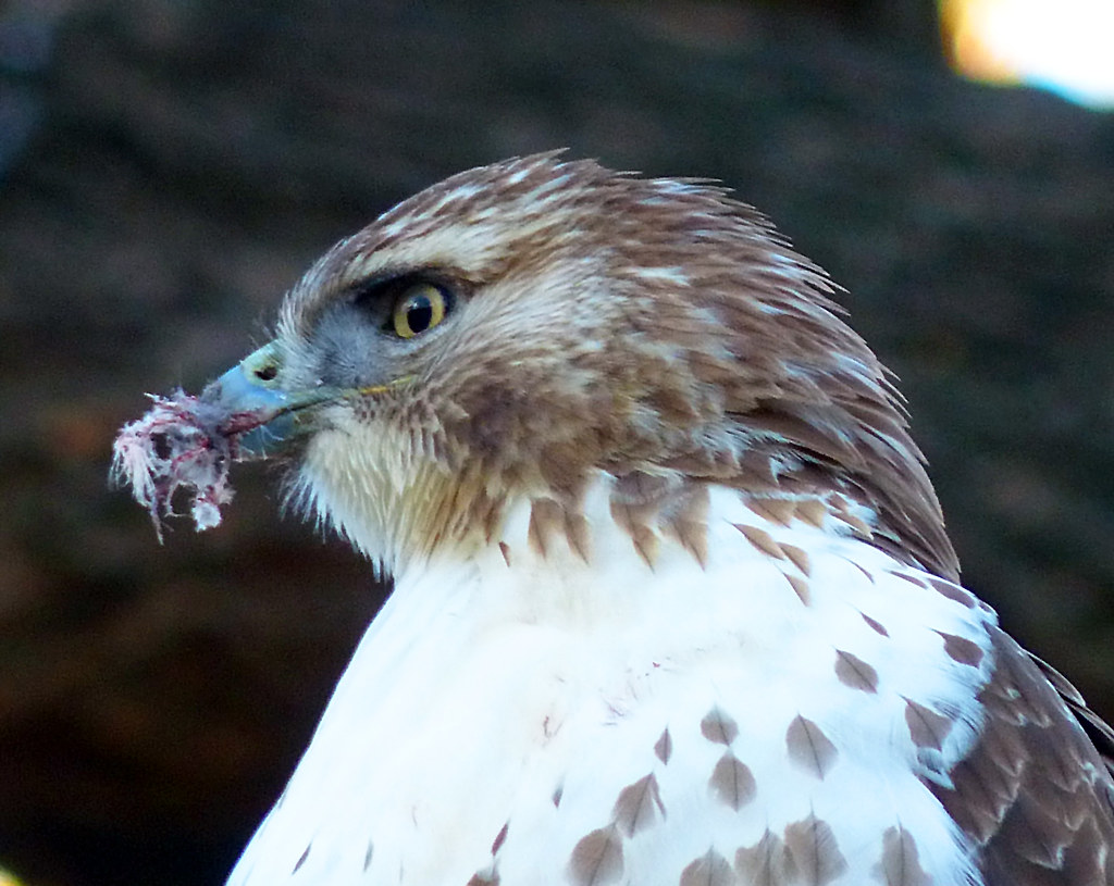 Red tail with beak injury