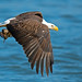 American Bald Eagle by Brian E Kushner