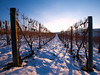 Sunset and snow on the vineyard