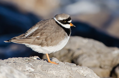 Ringed Plover - Explored