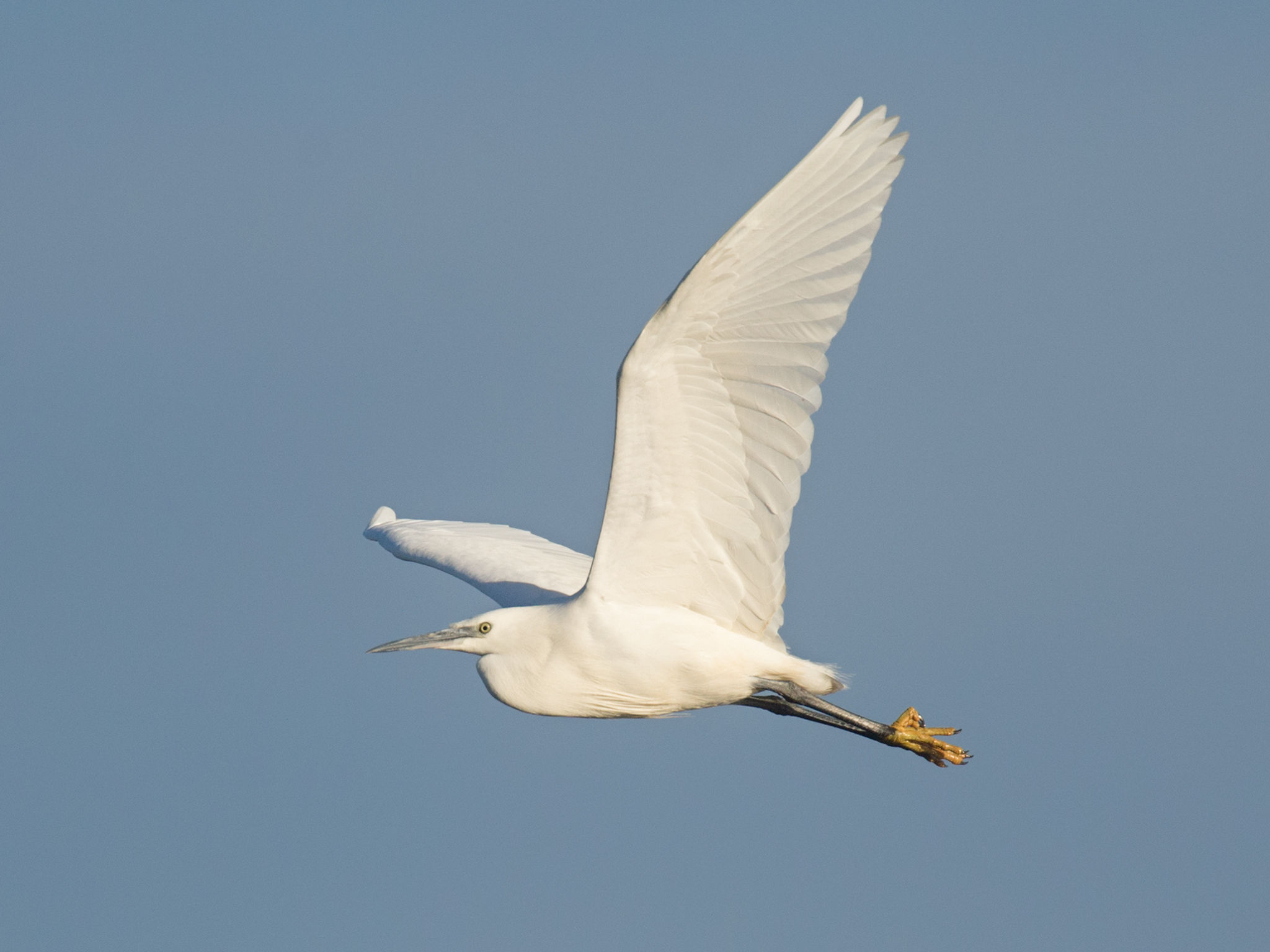 Little egret - blue sky