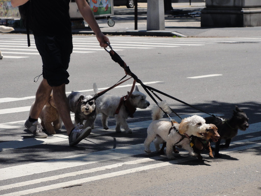 Dog walker near Central Park, New York City
