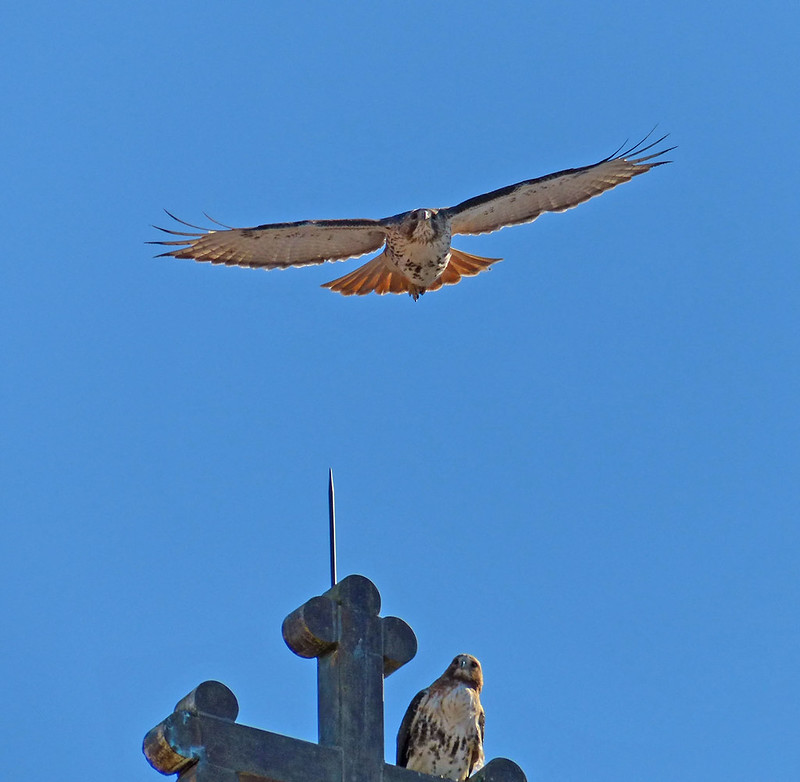 Hawk pair on St Brigids