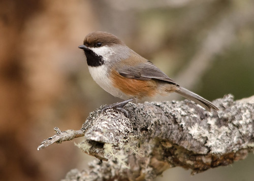 canada bird novascotia wildlife songbird borealchickadee poecilehudsonicus soberisland peterbrannon