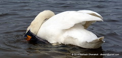 Swan deep in its business
