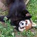 微笑みは天使の如く - Red panda posing like a photogravure idol -