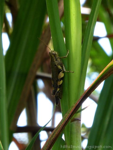 Santubong 17 Grasshopper