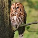 Tawny Owl by charlie.syme