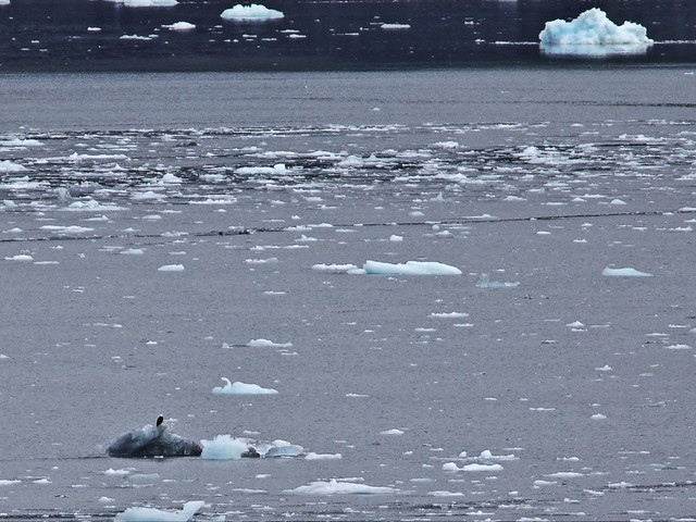 Eagle on iceberg 20140619