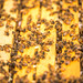 Idaho Bees by Thomas Hawk