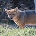 Culpeo Fox (Tim Melling)